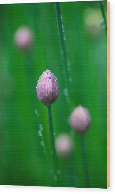 Raindrops On Chive Flowers Wood Print