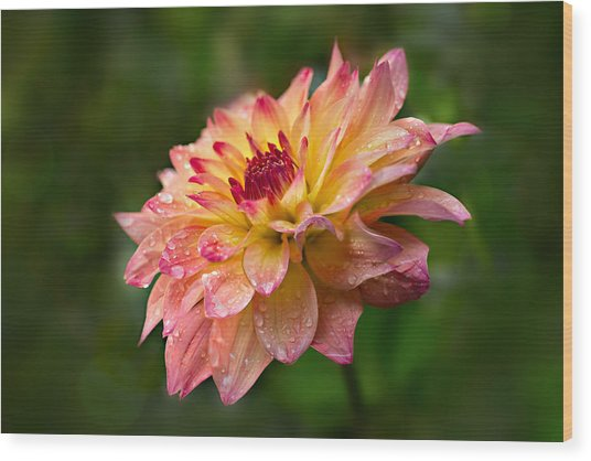 Rainy Dahlia Wood Print