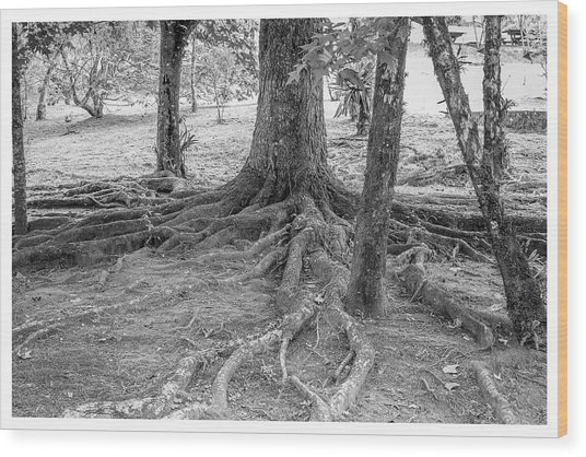 Raiz-campos Do Jordao-sp Wood Print