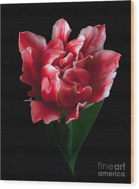 Rare Tulip Willemsoord  Wood Print