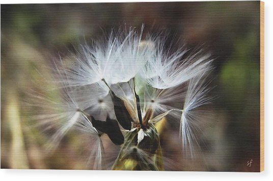 Ready To Fly... Salsify Seeds Wood Print