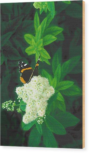 Red Admiral On Spirea Wood Print
