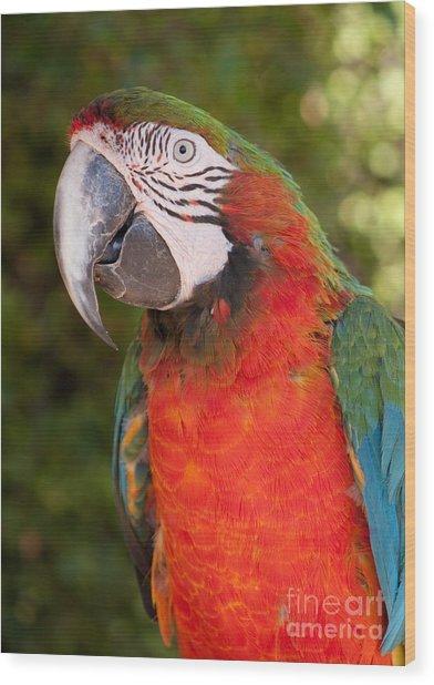 Red-and-green Macaw Wood Print by Svetlana Ledneva-Schukina