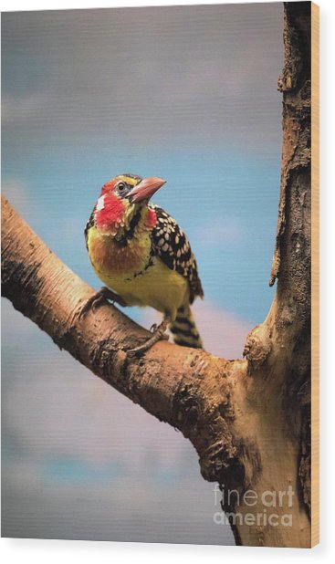 Red And Yellow Barbet Wood Print