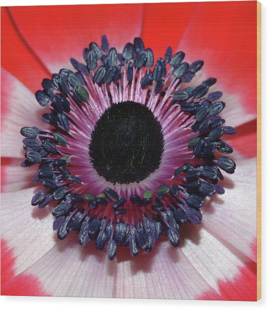 Red Anemone V1 Wood Print
