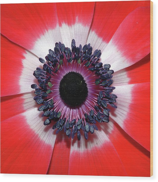 Red Anemone V2 Wood Print
