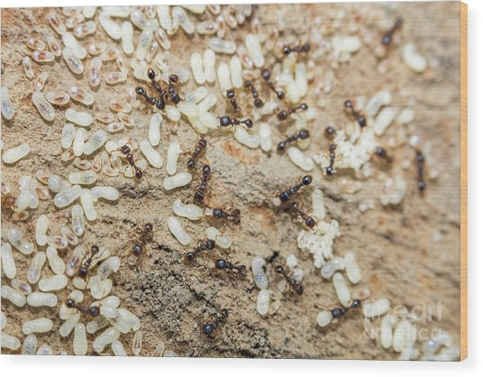 Red Ants Eggs Wood Print