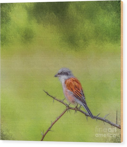 Red-backed Shrike Wood Print