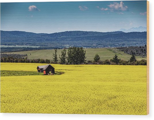Red Barns In A Sea Of Canola Wood Print