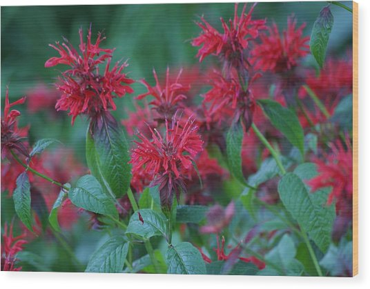 Red Bee Balm Wood Print