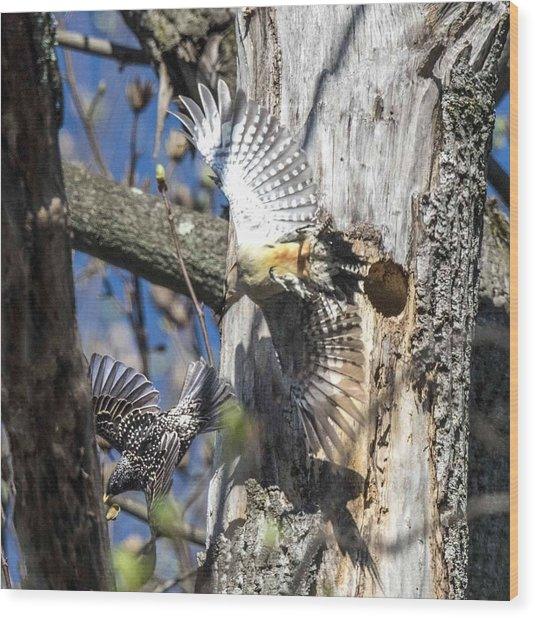Red Bellied Woodpecker Chasing An Attacking Starling Wood Print