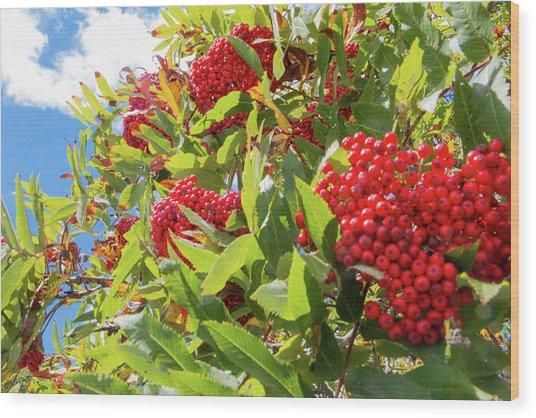 Red Berries, Blue Skies Wood Print