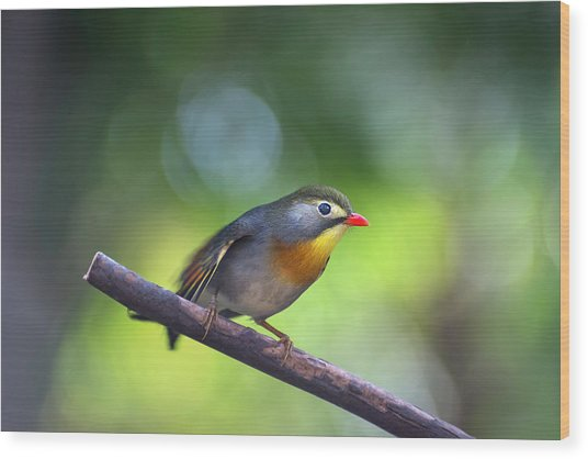 Red Billed Leiothrix Wood Print