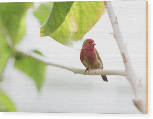Wood Print featuring the photograph Red Bird by Raphael Lopez