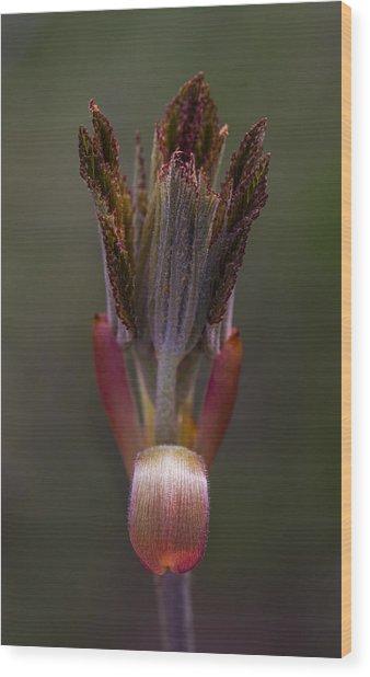 Red Buckeye Leaves Emerging Wood Print