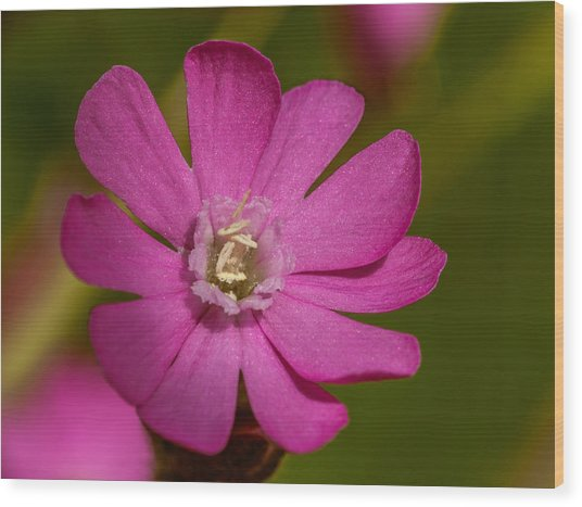 Red Campion Wood Print