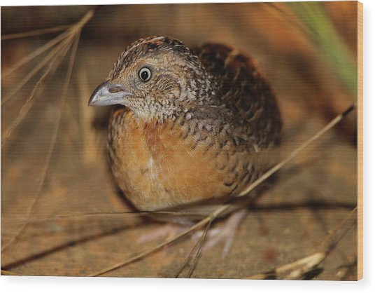 Red-chested Button-quail Wood Print