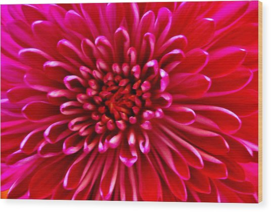 Red Chrysanthemum Wood Print