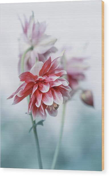 Red Columbines Wood Print