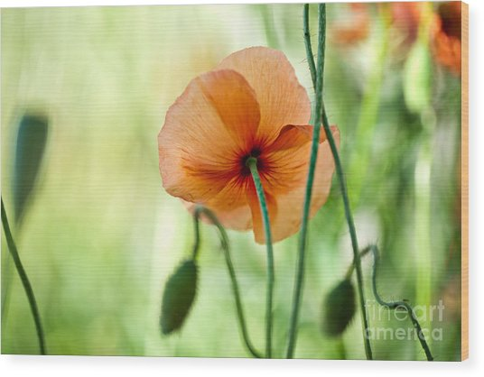Red Corn Poppy Flowers 02 Wood Print