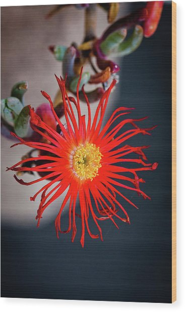 Red Crab Flower Wood Print