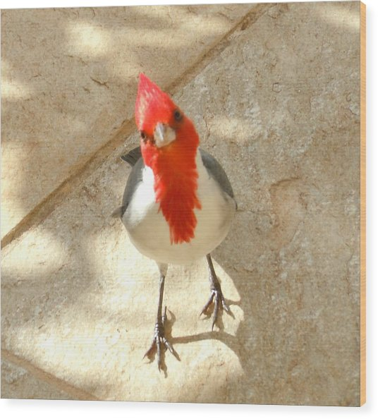 Red-crested Cardinal At My Feet Wood Print