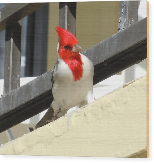 Red-crested Cardinal Posing On The Balcony Wood Print