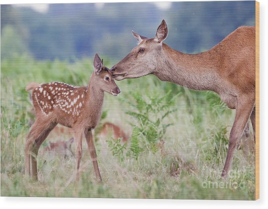 Wood Print featuring the photograph Red Deer - Cervus Elaphus - Female Hind Mother And Young Baby Calf by Paul Farnfield