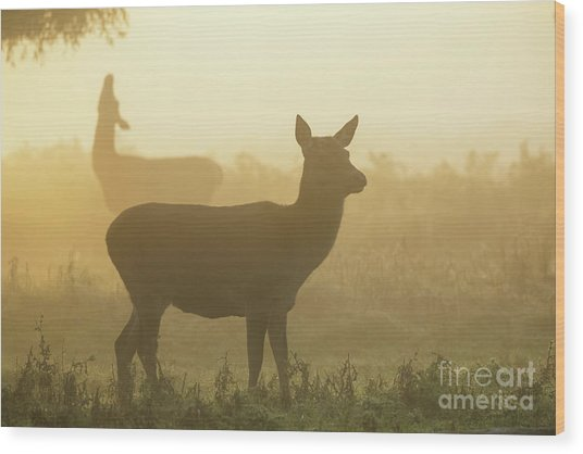 Wood Print featuring the photograph Red Deer - Cervus Elaphus - Hinds Browsing On Willow On A Misty M by Paul Farnfield