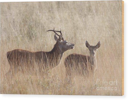 Red Deer Stag And Hind Wood Print
