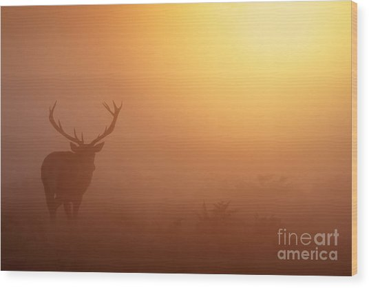 Red Deer Stag At Sunrise Wood Print