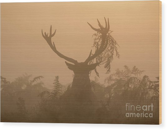Red Deer Stag Cervus Elaphus Displaying At Sunrise With Bracken On Antlers Wood Print