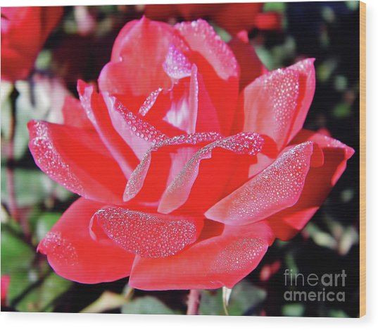 Red - Dew Covered  - Rose Wood Print