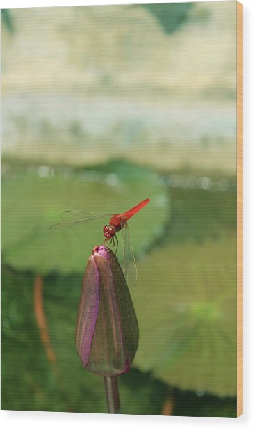 Red Dragonfly At Lady Buddha Wood Print