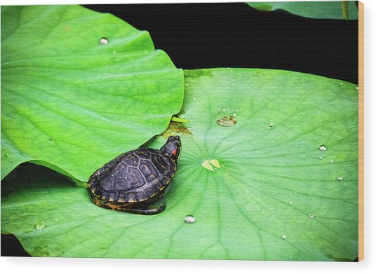 Red-eared Slider Wood Print