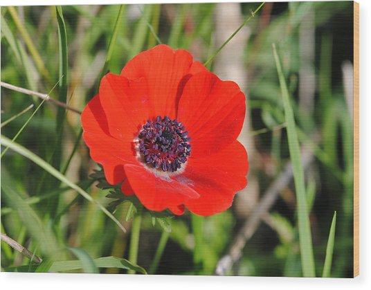 Red Anemone Coronaria 4 Wood Print