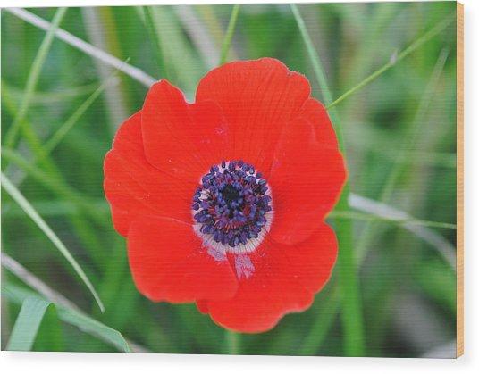 Red Anemone Coronaria 3 Wood Print