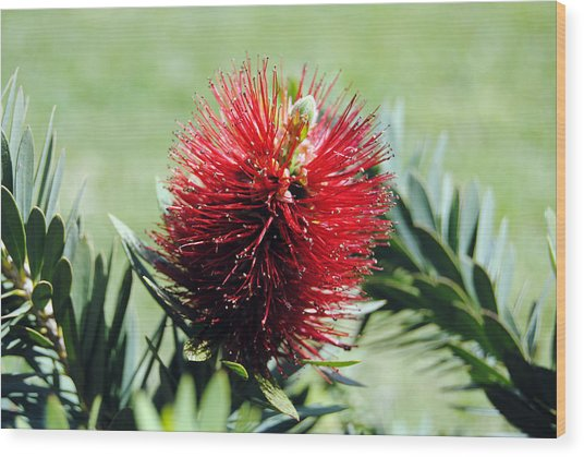 Callistemon - Bottle Brush 7 Wood Print