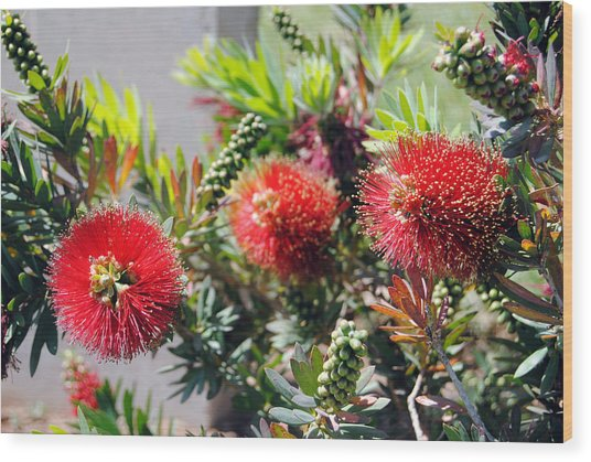 Callistemon - Bottle Brush 6 Wood Print