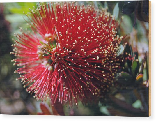 Callistemon - Bottle Brush 5 Wood Print
