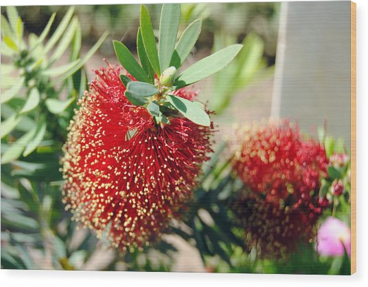 Callistemon - Bottle Brush 4 Wood Print