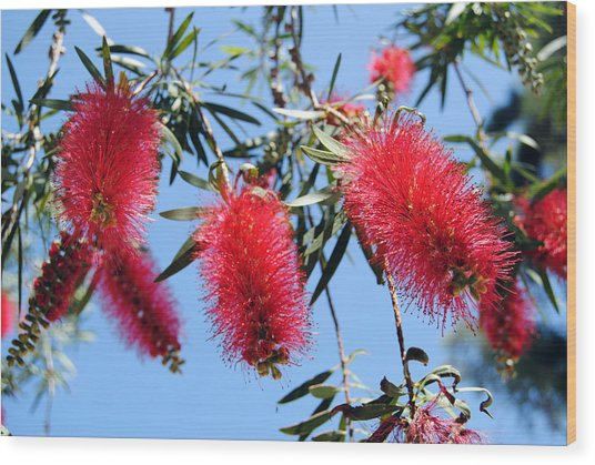 Callistemon - Bottle Brush 3 Wood Print
