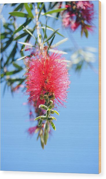 Callistemon - Bottle Brush 1 Wood Print