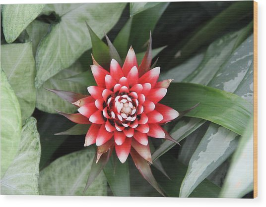 Red Flower With White Tips Wood Print
