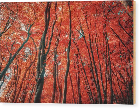 Red Forest Of Sunlight Wood Print