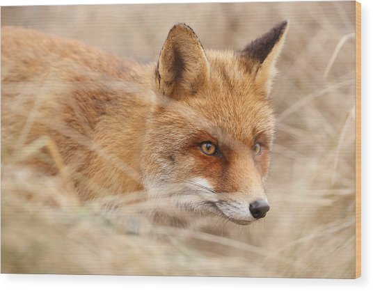 Red Fox On The Hunt Wood Print