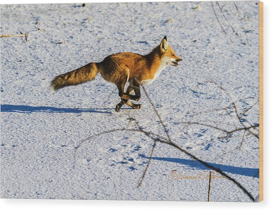 Red Fox On The Run Wood Print