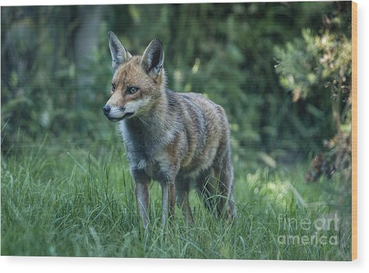 Red Fox Wood Print by Philip Pound