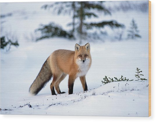 Red Fox Vulpes Vulpes Portrait Wood Print
