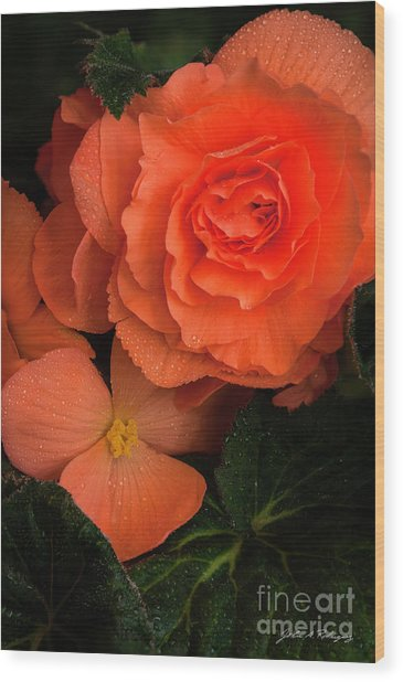 Red Giant Begonia Ruffle Form Wood Print
